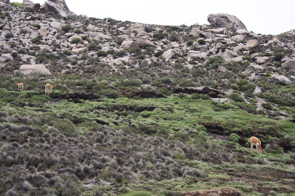 Llamas being llamas