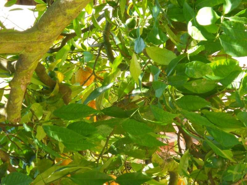 Citrus aurantium 3