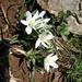 Ornithogalum orthrophyllum subsp. baeticum (Paul Harmes)