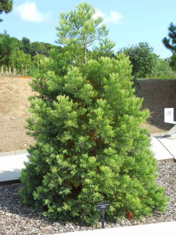 Sequoiadendron giganteum v 2