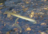American brook lamprey - Photo (c) John G. Cramer III, all rights reserved