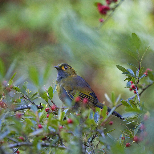 bird birds canon october taiwan 台灣 70200 nantou 杉林溪 sunlinksea 藪鳥 canoneos5dmarkii 狀元紅 steeresbabbler