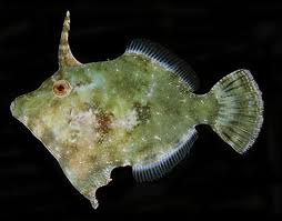 Aiptasia eating file fish flickr photo sharing for Aiptasia eating fish