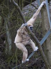 gibbon, animal, branch, monkey, zoo, mammal, fauna, old world monkey, ape, wildlife,