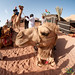 Fisheye View of a Camel Ride - Wadi Rum, Jordan