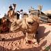 Fisheye View of a Camel Ride - Wadi Rum, Jordan