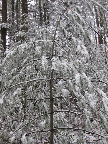 Snow-laden tree