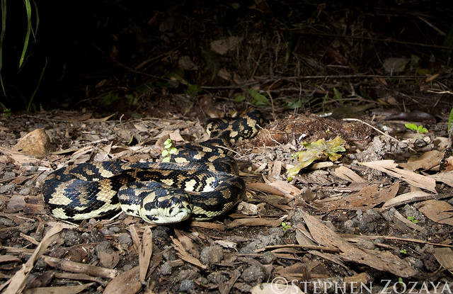 Jungle Carpet Python (Morelia spilota cheynei)  Flickr