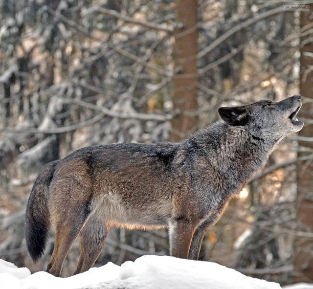 Sunset Wolf Blues