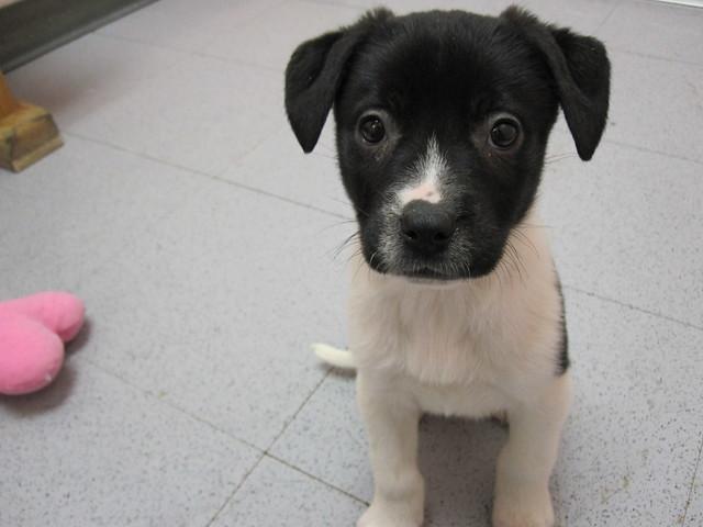 Boxer Bloodhound Mix Puppies Lab/hound mix puppies  lab