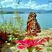 Flor de moça velha e borboleta by Tony Borrach