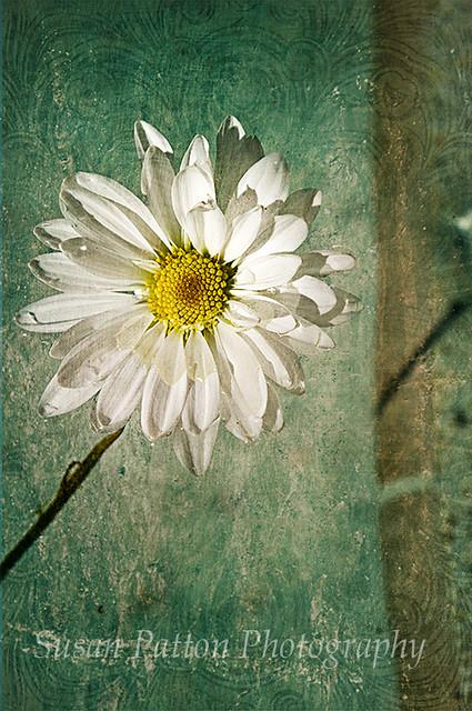wPainted_daisy