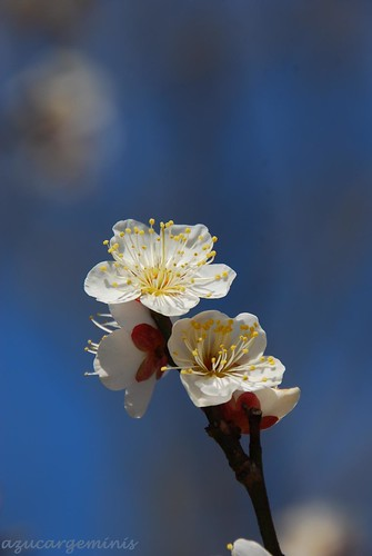 park white flower yellow japan nikon ngc bluesky chiba ume d60 auniverseofflowers aobanomorikōen anaturecanvas