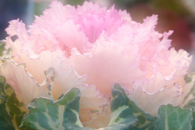 Pink ornamental