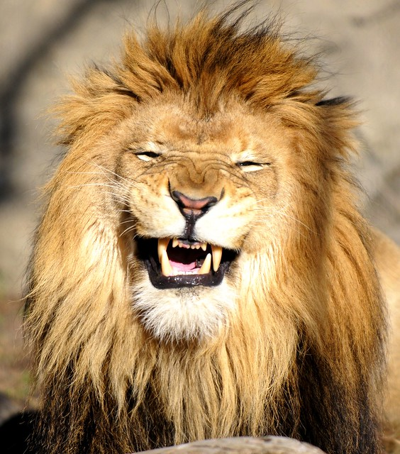 Lion laughing at me