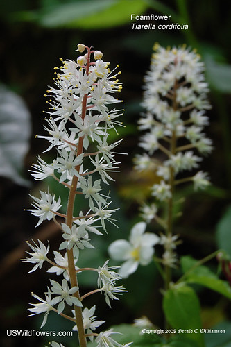 Heartleaf Foamflower - Tiarella cordifolia