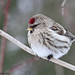 Sizerin blanchâtre - Hoary Redpoll