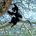 Eastern Black and White Colobus (Julia Casson)