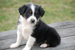 entlebucher mountain dog(0.0), border collie(1.0), dog breed(1.0), animal(1.0), dog(1.0), appenzeller sennenhund(1.0), pet(1.0), greater swiss mountain dog(1.0), miniature australian shepherd(1.0), australian shepherd(1.0), english shepherd(1.0), carnivoran(1.0),