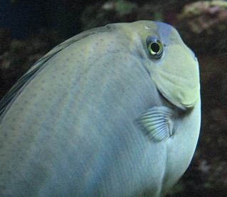 Whitish Parrotfish