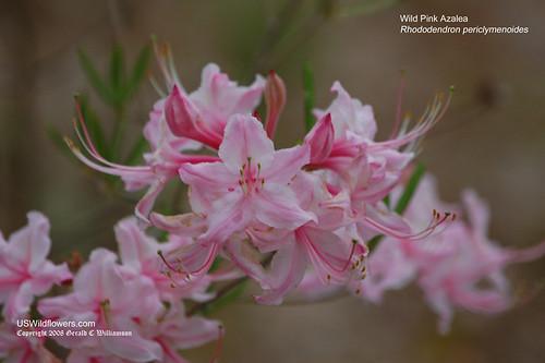 Pink Azalea; Pinxter Flower - Rhododendron periclymenoides