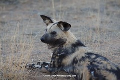 hyena(0.0), animal(1.0), mammal(1.0), fauna(1.0), lycaon pictus(1.0), wildlife(1.0),