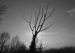 l'albero che vide troppi tramonti