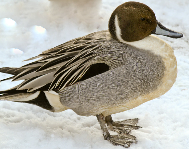 how to clean a pintail duck