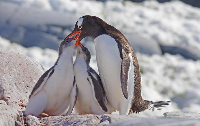 South American Wildlife: Gentoo Penguins