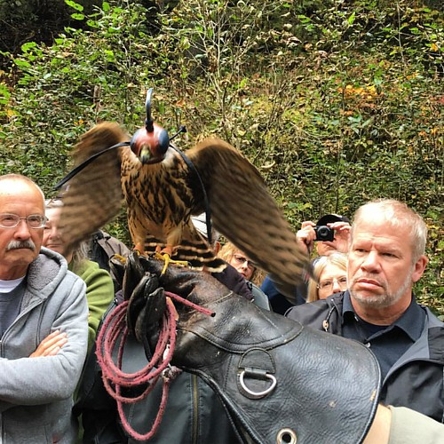 A falcon, just stretching his wings. This was a baby this year. #alaska