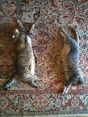 lynx(0.0), australian cattle dog(0.0), wild cat(0.0), animal(1.0), pet(1.0), mammal(1.0), fauna(1.0), cat(1.0), bobcat(1.0),