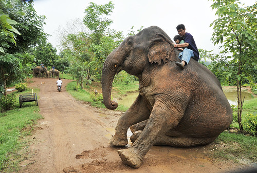 Elephant heading out to graze carrying her mahout and young Hope