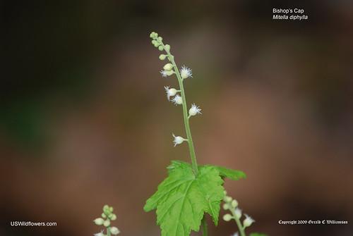 Miterwort, Bishop's Cap - Mitella diphylla