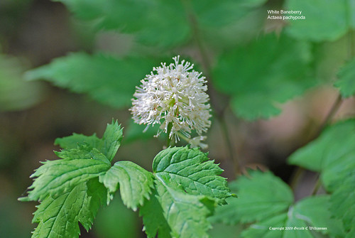 White Baneberry, Doll's Eyes - Actaea pachypoda