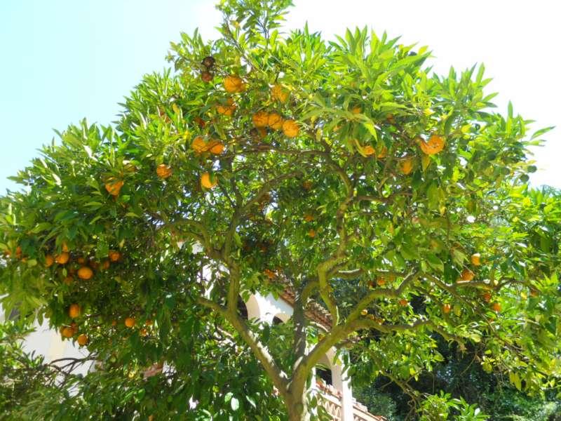Citrus aurantium 2