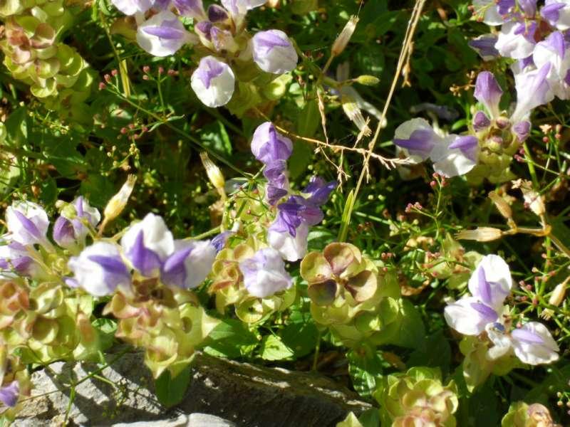Scutellaria alpina 2
