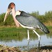 Marabou Stork (Julia Casson)