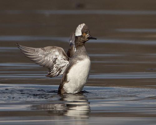 kh0831 thegreatswamp specanimal bird 2011 greatswamp swamp aquaticbird nj lophodytes cucullatus lophodytescucullatus