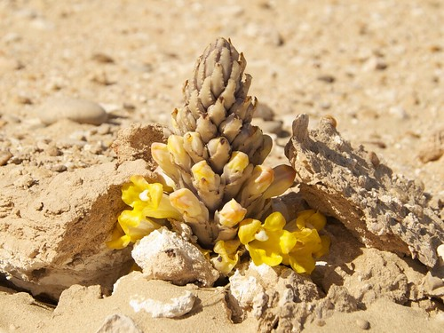 110304 Qatar Desert Flower - Take 2