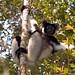 Indri (Paul Stanbury)