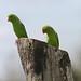 Green Parrotlets (Peter Dunn)