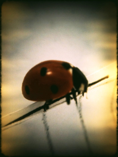 red black cute nature beautiful bug insect sweet beetle ladybird ladybug iphone ladyfly coccinellid ladycow plasticbullet ladyclock