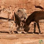 Donkeys, Head to Head - Petra, Jordan