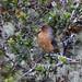 Conirostrum rufum - Photo (c) Dave Curtis, algunos derechos reservados (CC BY-NC-ND)