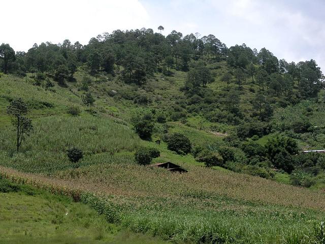 Casa cubierto con maiz - House hidden by corn; cerca de Joyabaj, El Quiché, Guatemala