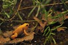 Golden Mantella by Ami 211