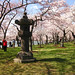 Cherry Blossoms 2011