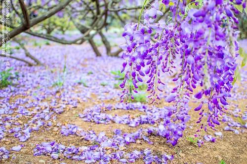 2014.紫藤花開了