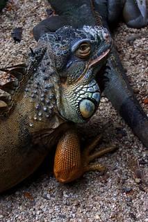 Photo of Iguana, images of iguana, melaka zoo