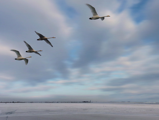 Tundra swans in an arctic flight